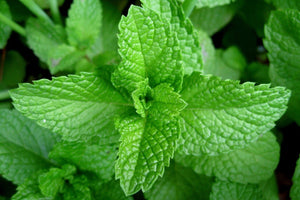 Peppermint: Properties and Uses