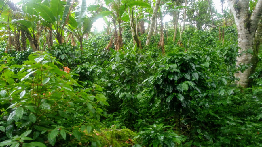 Tribute To Coffee Growers