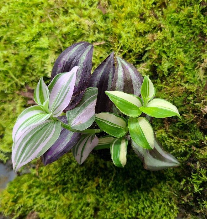 Tradescantia Combo Pack (3-4 types)