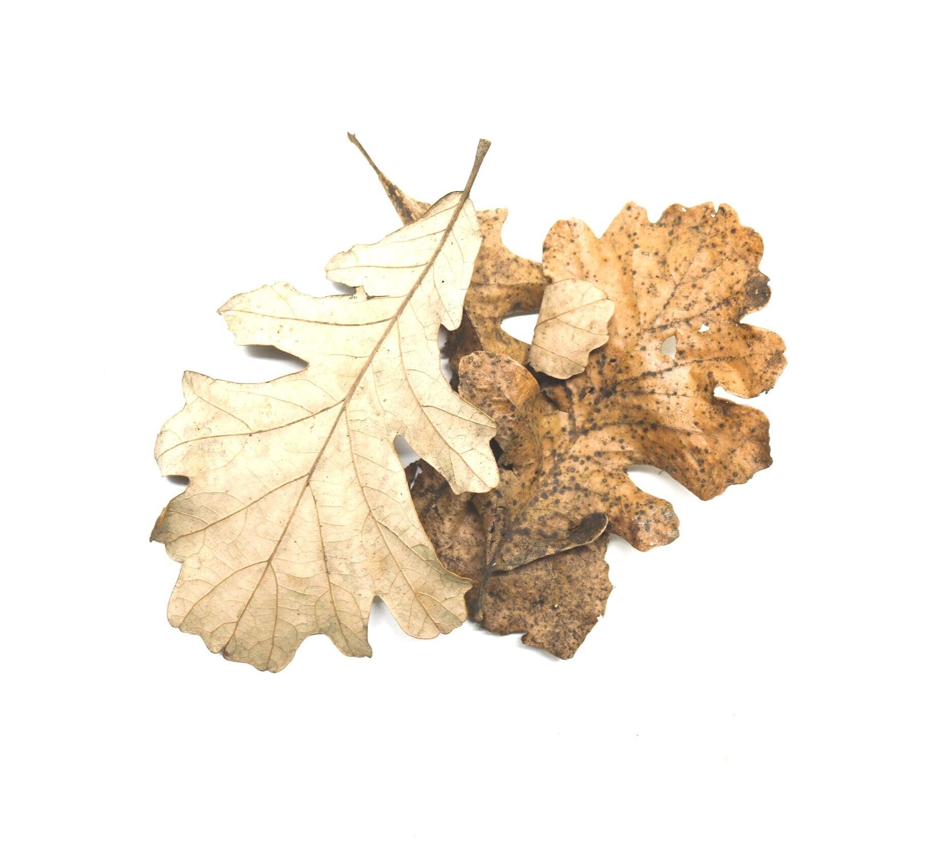 Burr Oak Leaves (Quercus macrocarpa) - C Grade