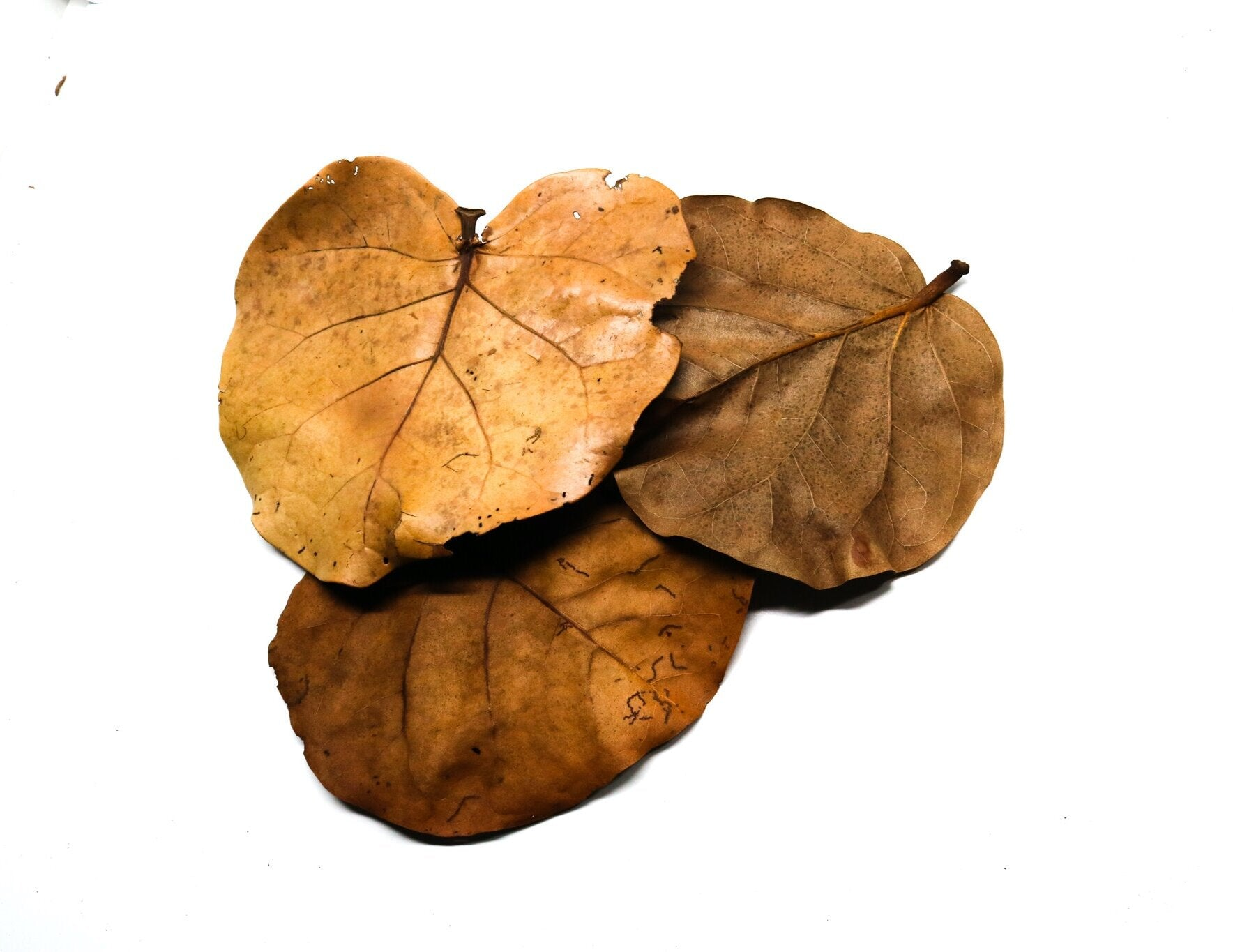 Sea Grape Leaves (Coccoloba uvifera) - Large - A Grade