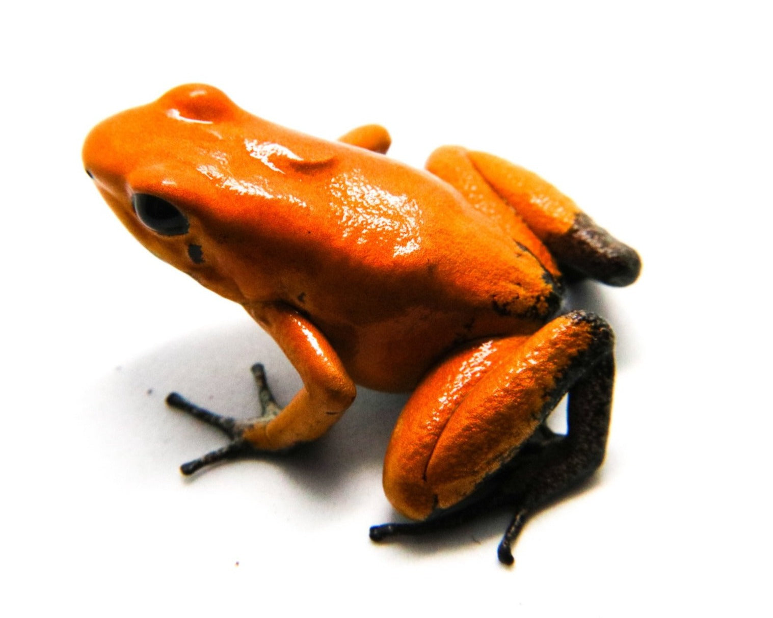 "Phyllobates terribilis ""Orange Blackfoot"""