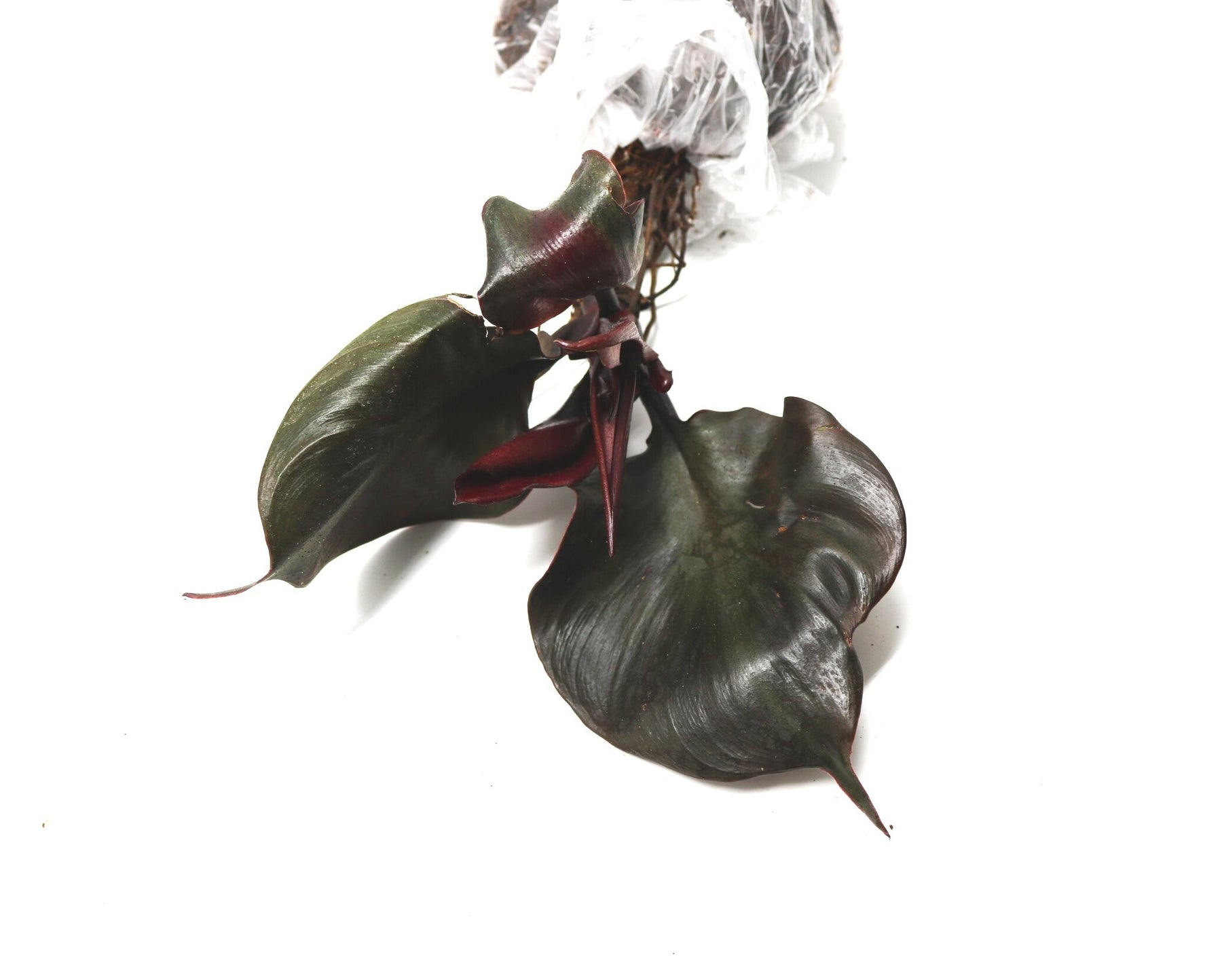 Philodendron Red Heart.
