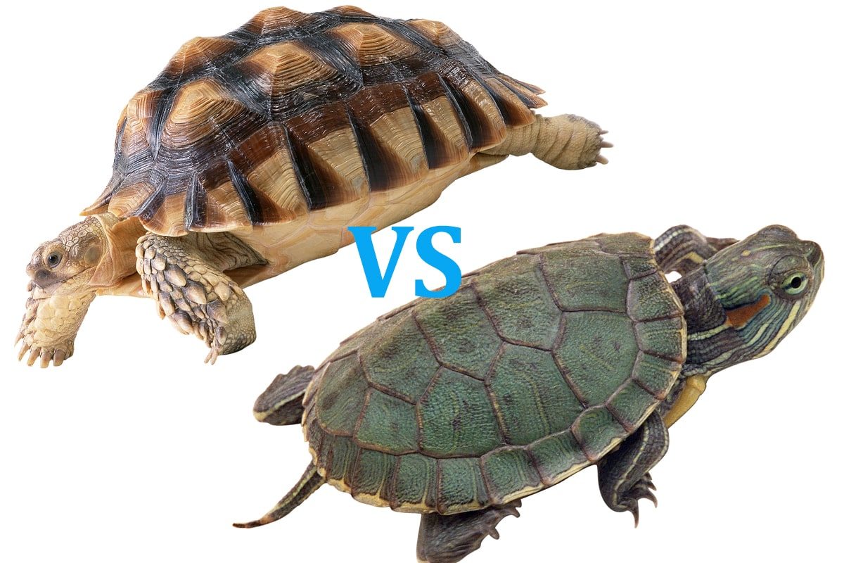 Turtle Vs Tortoise