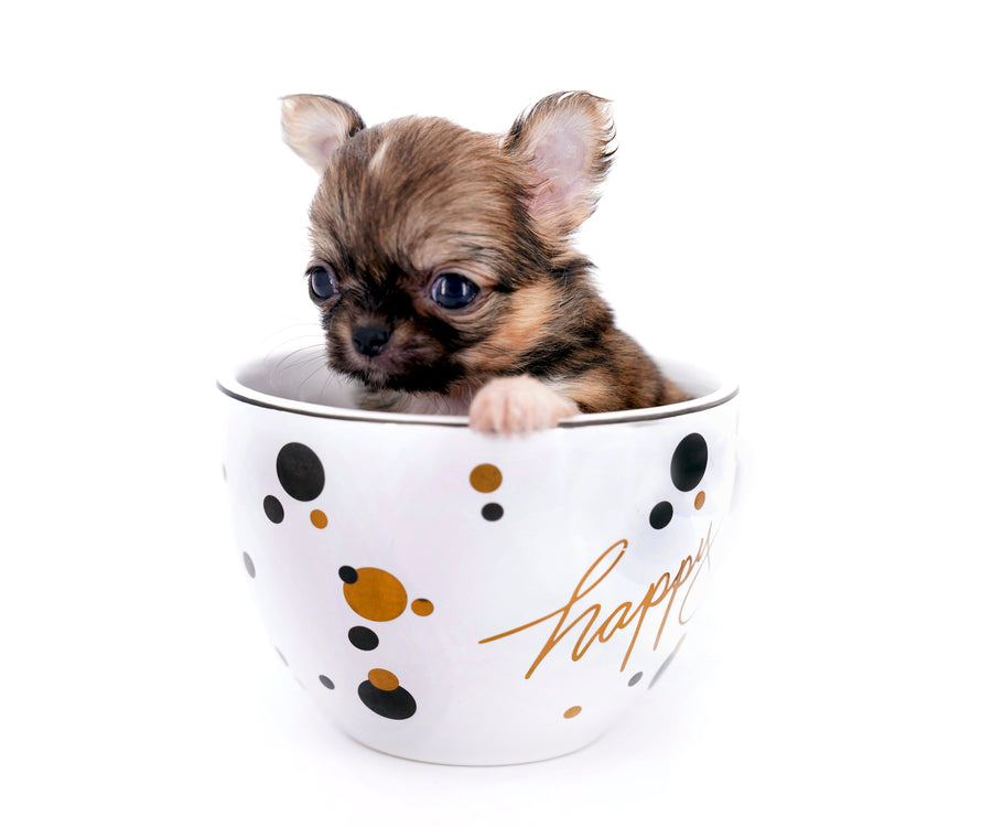 Lilly Bella Micro Teacup Girl