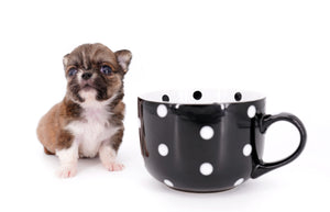 Miny is a micro teacup LC Sable Boy