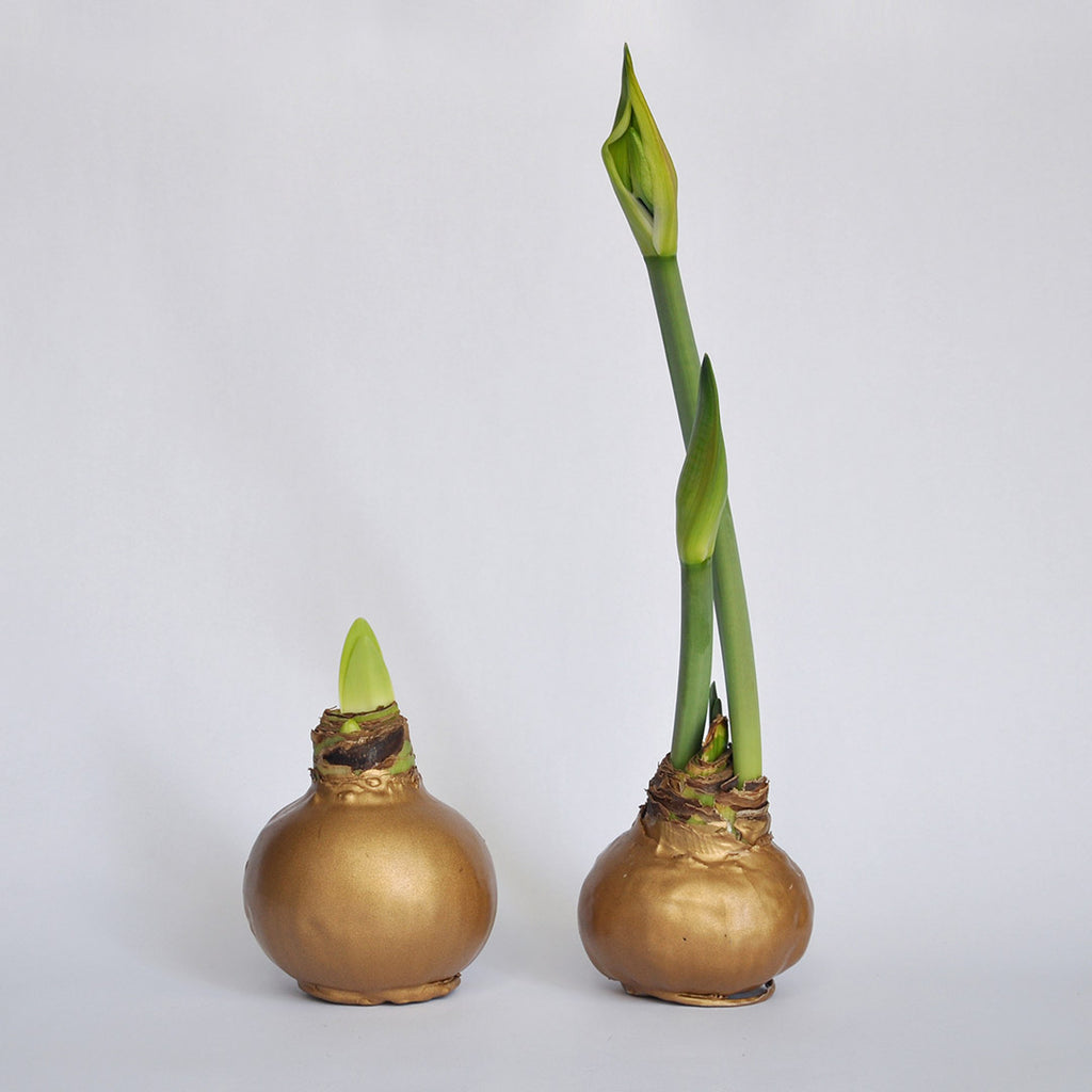 Amaryllis Wax GOLD
