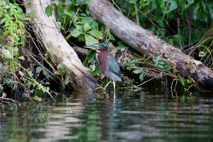 Green Heron and the New Lens