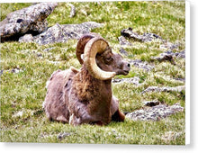 Load image into Gallery viewer, Bighorn Ram In RMNP - Canvas Print