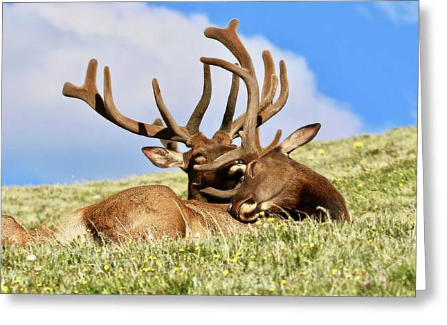 Elk Relaxing In Alpine Wildflowers - Greeting Card