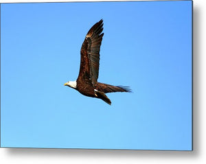 Lawrence Bald Eagle - Metal Print