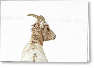 Sheep Glance In Snow - Greeting Card
