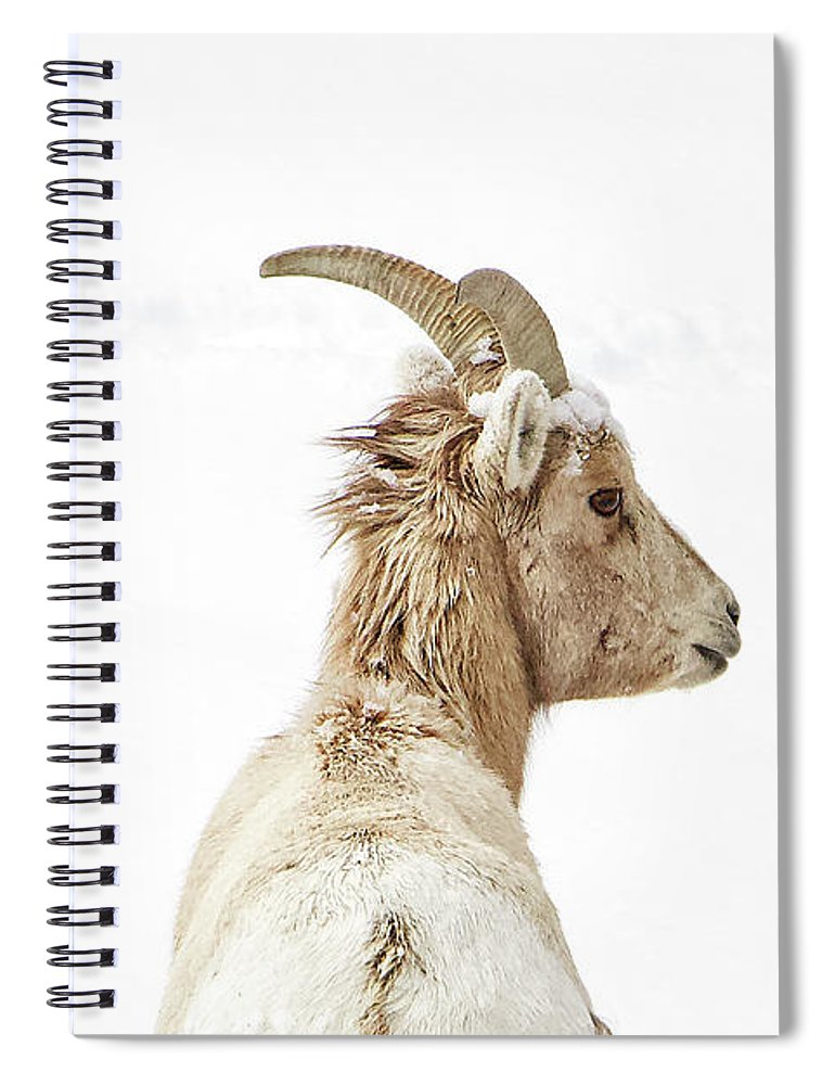 Sheep Glance In Snow - Spiral Notebook