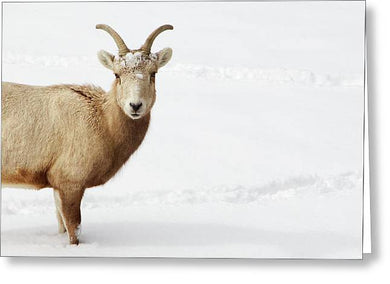 Sheep In Snow - Greeting Card