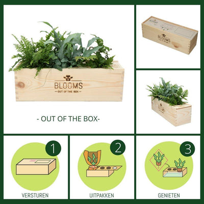 """Blooms out of the Box"" Mix van 3 lucht zuiverende planten - Bloomsoutofthebox"