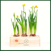 BLOOMSBOX Large met Narcisbolletjes - Bloomsoutofthebox