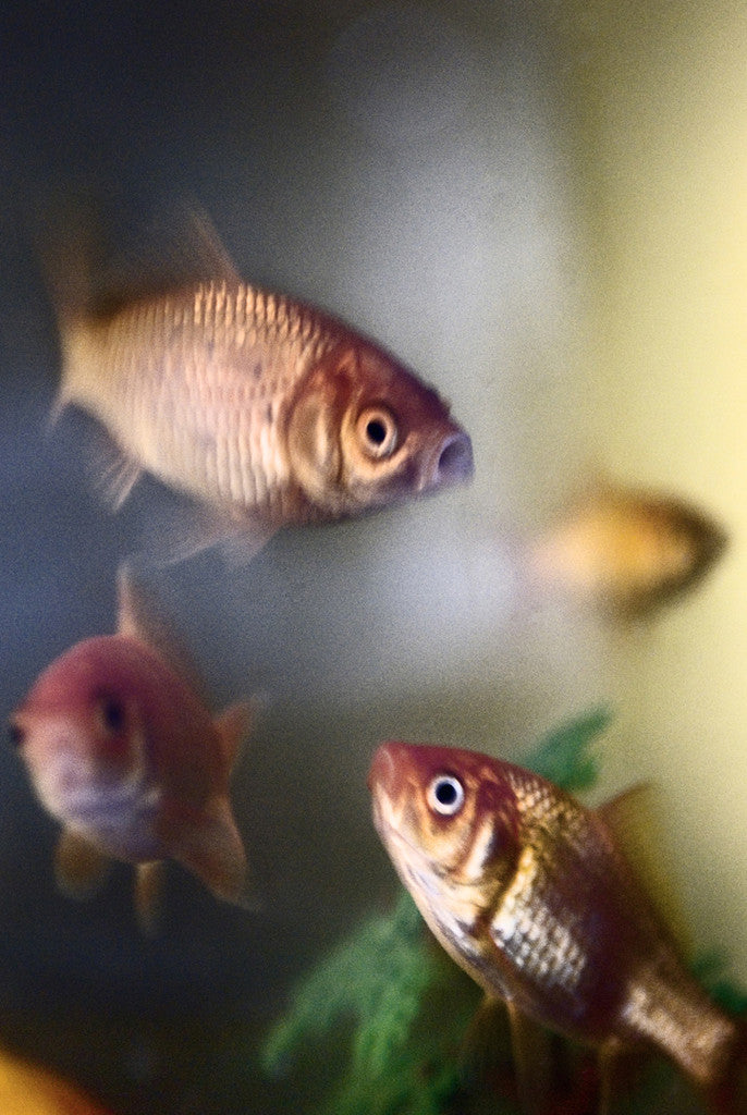 The City Naturalist - Domestic Goldfish