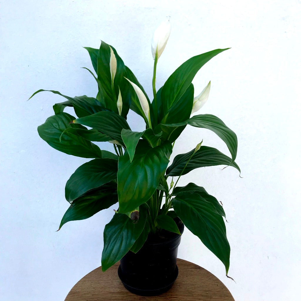 SPATHIPHYLLUM 15.0 (PEACE LILLY)