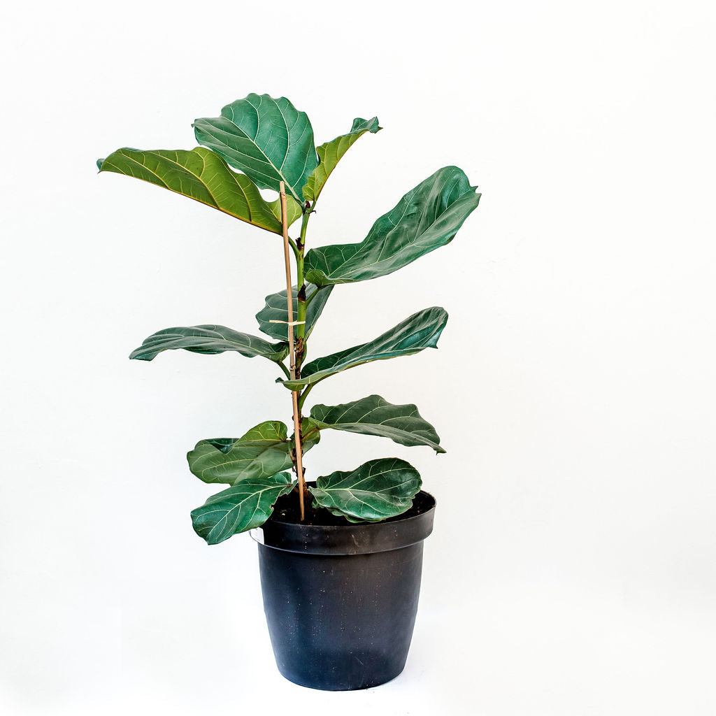 Fiddle Leaf Fig Tree (Ficus Lyrata) XL