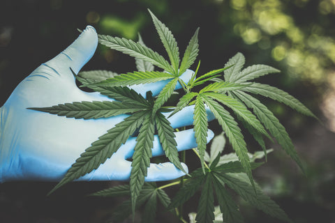 Hand with glove on touching cannabis sativa plant