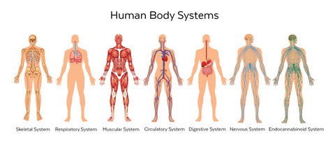This photo represents the bodies many systems including the Endocannabinoid system. Humans and animals each have an ECS that binds with cannabinoids to help promote homeostasis.