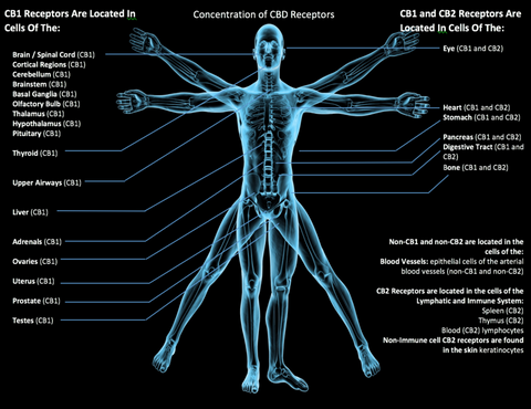 The CBD Doctors latest blog is about the Endocannabinoid system. This system helps regulate our immune system, pain, mood, sleep patterns, and several other functions.