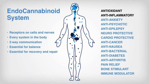 The Endocannabinoid system | Read our latest blog at the CBD Doctors shop and learn more about this system and how cannabinoids are important in regulating our bodies health.