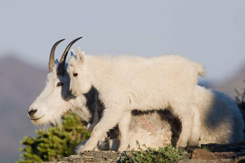 Mountain Goats are strong, nimble and fearless