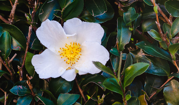 Camellia Oleifera is a beauty