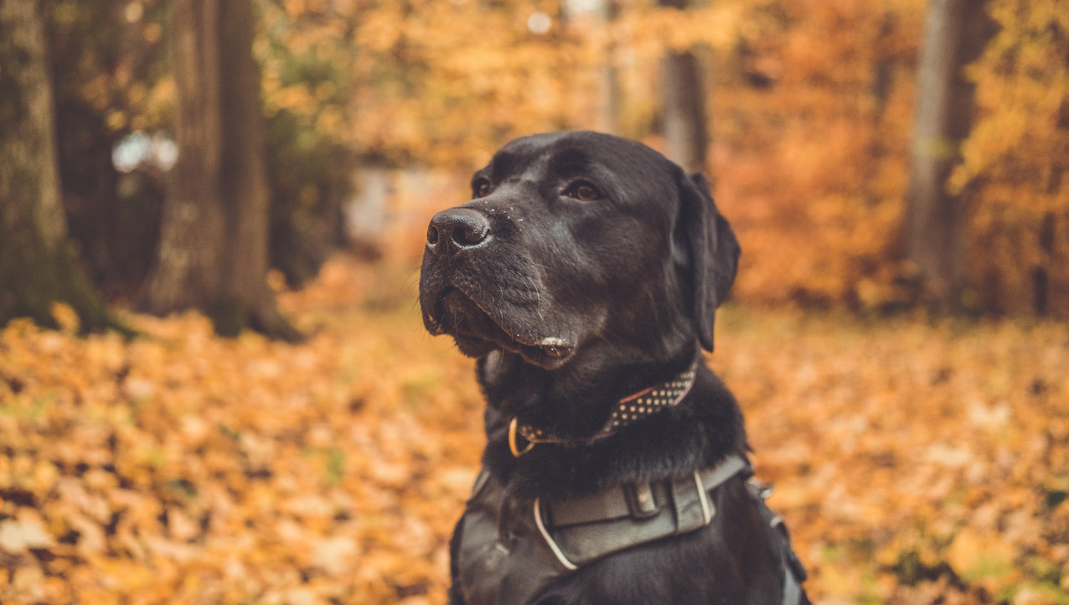black labrador sitting in forest surrounded by orange autumn leaves