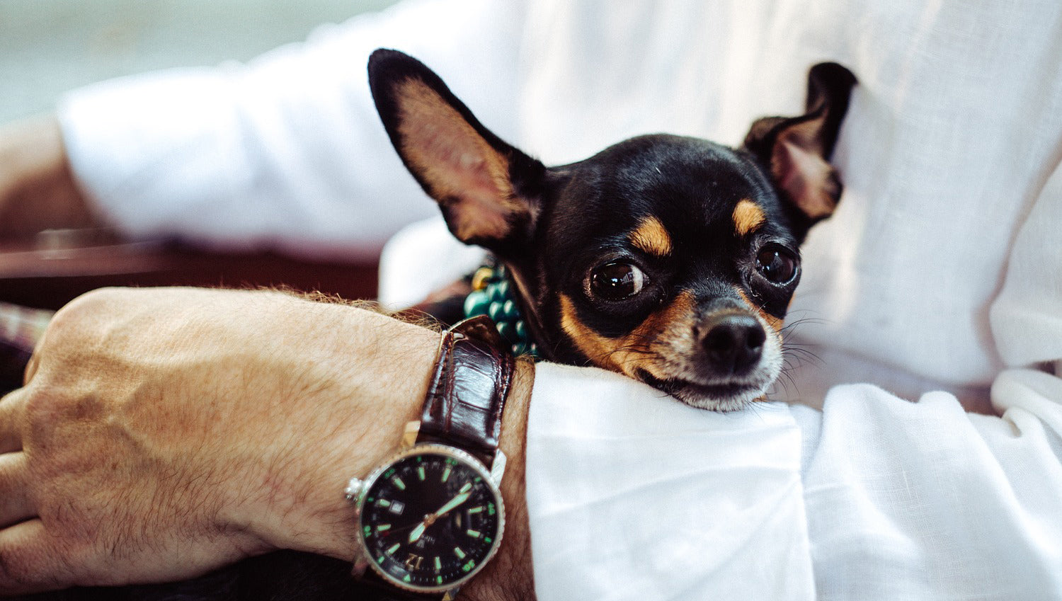 Small black and tan chihuahua cross sitting on the lap of a person wearing a white shirt and watch