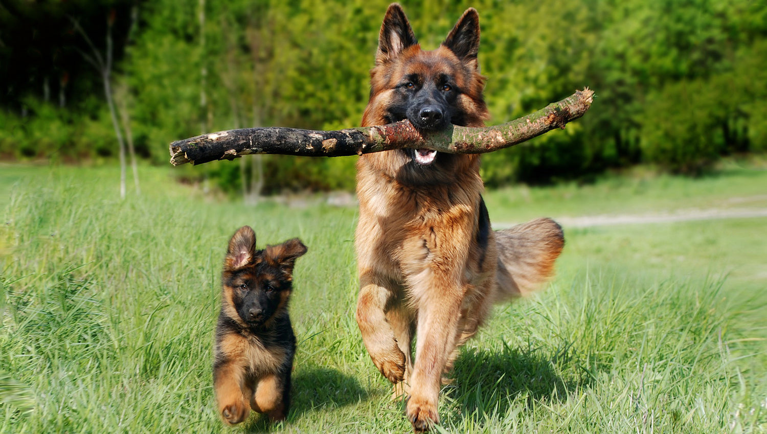 German Shepherd puppy and adult dog running in grass with adult dog carrying a large branch