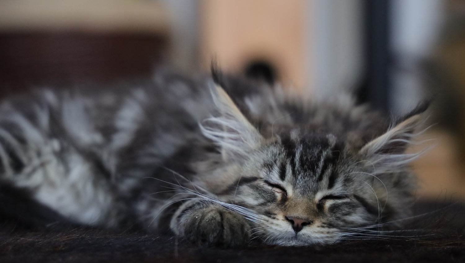 tabby maine coon kitten sleeping with face resting on paw