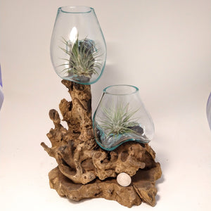 Blown Glass on Gamal Root base