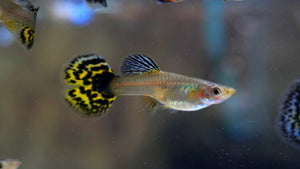 Mosaic Elephant Ear Guppy - Pair