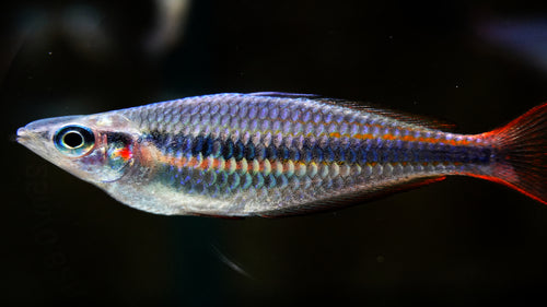 Blyth River Rainbowfish