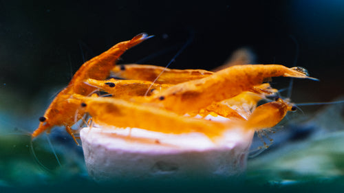 Orange Shrimp