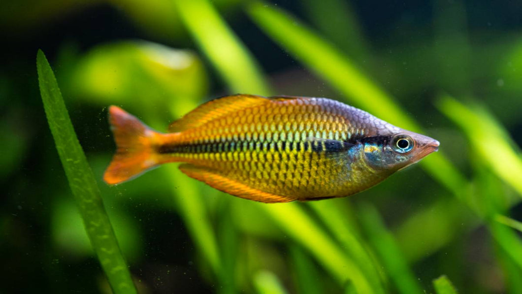 Yellow Rainbowfish