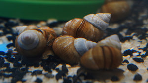 Japanese Trapdoor Snail