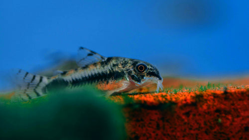 Salt and Pepper Corydoras