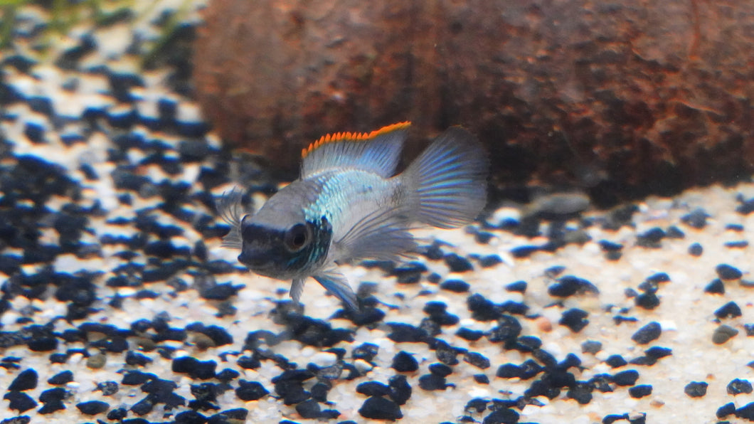 Nannacara Anomala Electric Blue