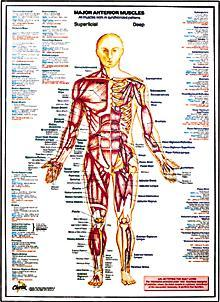 Major Anterior Muscles Chart
