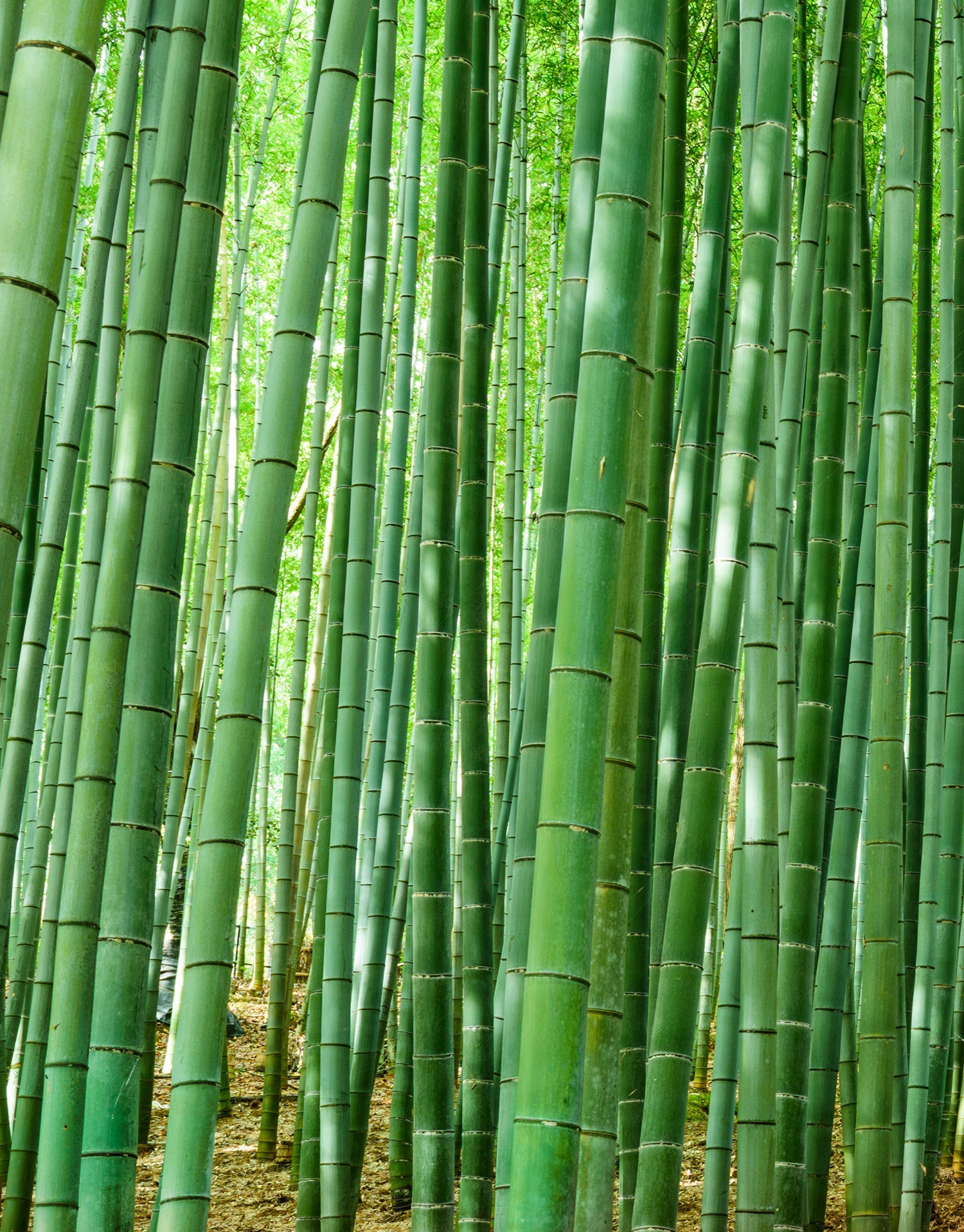 Bamboo forest wall mural 6043 for Bamboo wall mural
