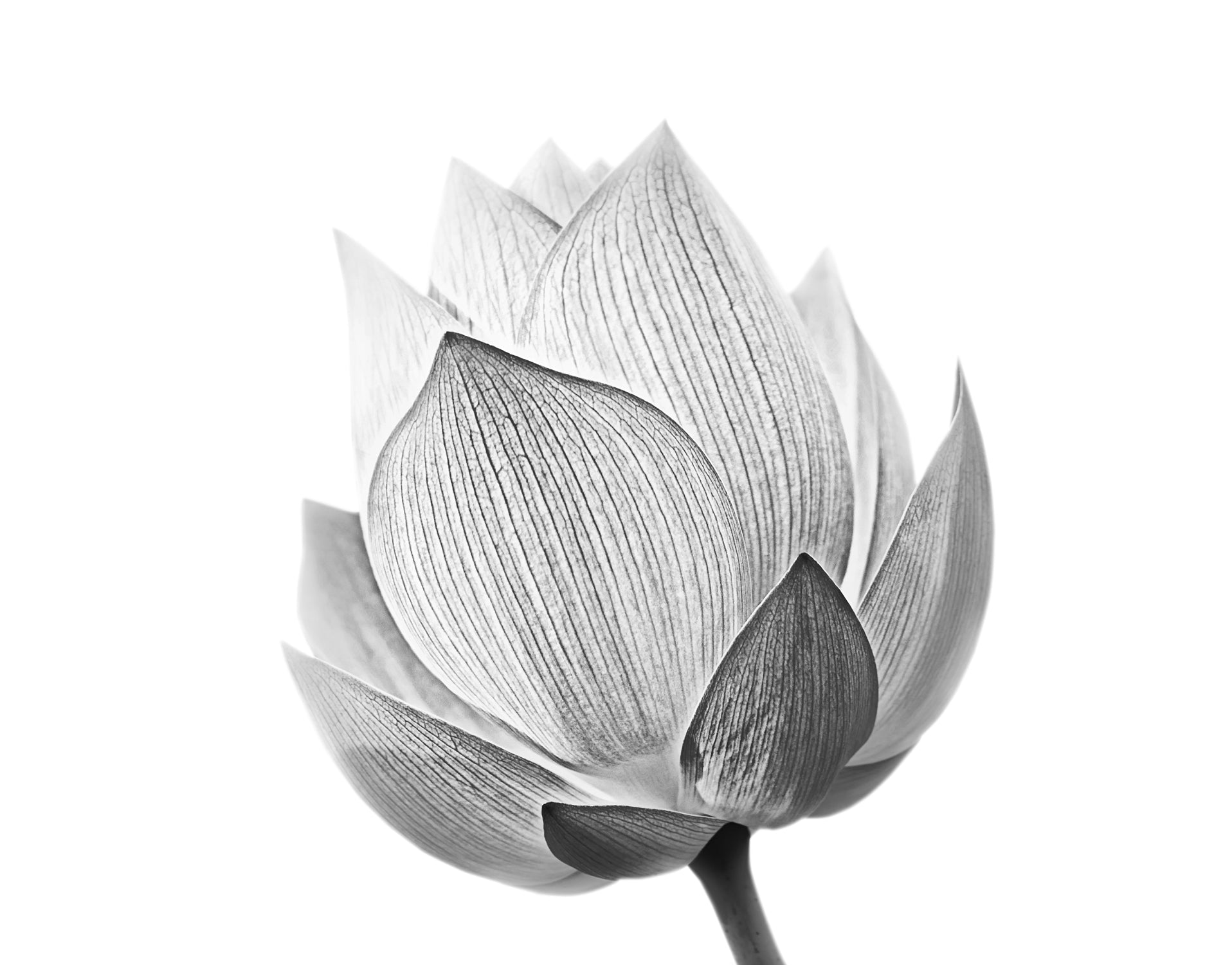 Black And White Lotus Flower Wall Mural 6116