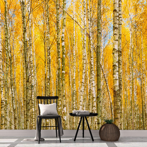 Autumn Scenic Birch Tree Forest Wall Mural | Peel and Stick Wallpaper. #6202