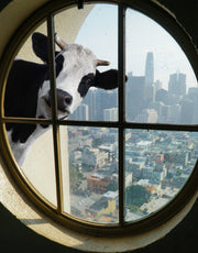 Peeking Cow Wall Decal Color Graphics. #6266