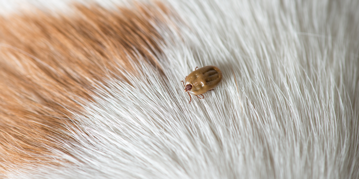 Removing Ticks From Your Pets