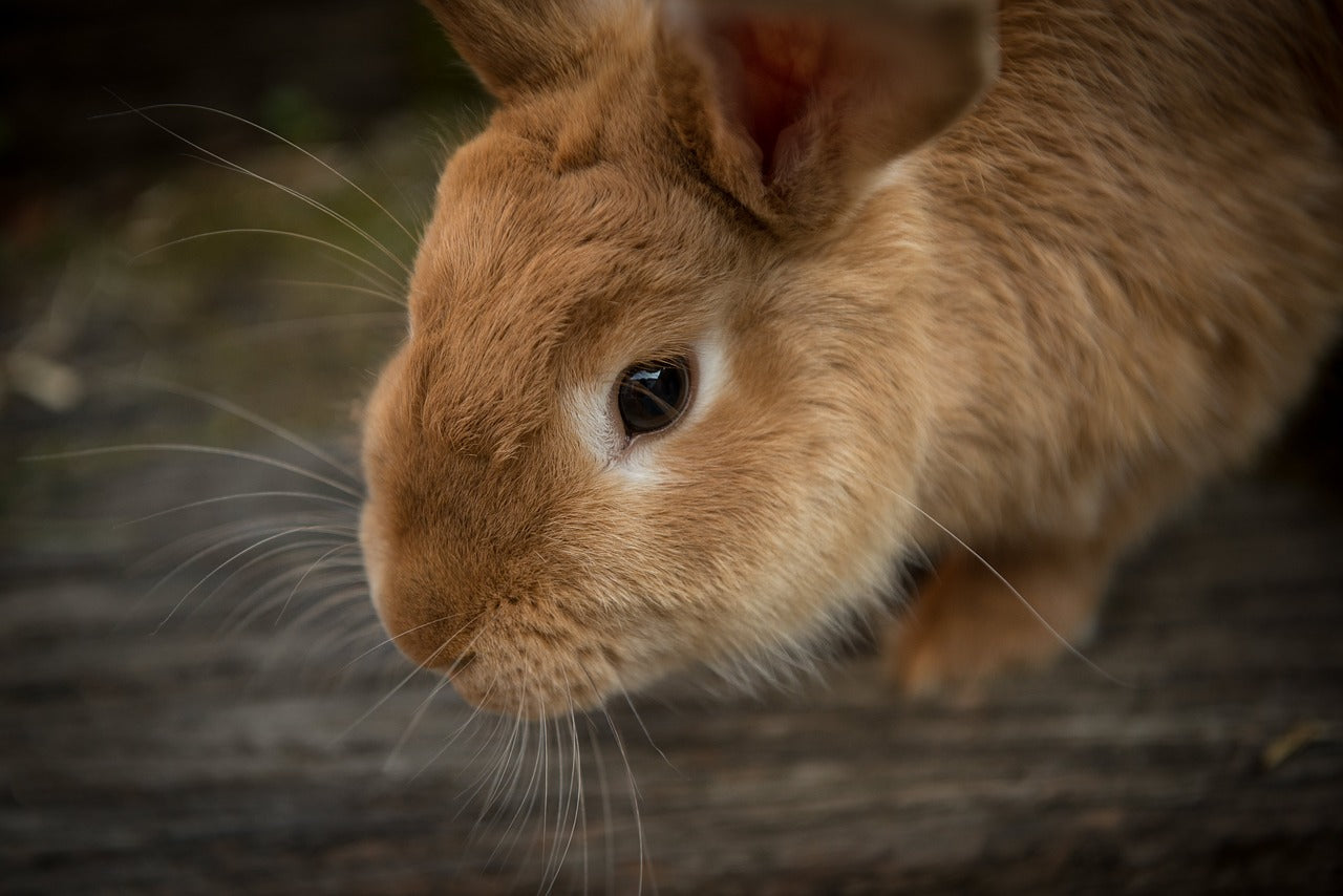Grooming Tips for Rabbits