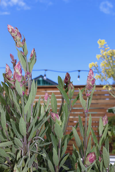 Flowering Sage - one of many herbs in the Avalow Culinary Herb Plant Packages