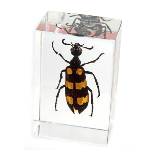 PW111<br />Blister Beetle<br />